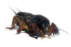 Mole cricket - stock photo
