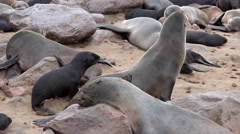 Fur Seal (Arctocephalus Pusillus) at Cape Cross - stock footage