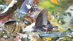 Butterflies in the wild in Thailand Stock Footage
