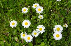 Daisies in green grass - stock photo