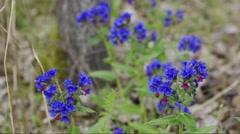 Flowering lungwort (Pulmonaria officinalis) Stock Footage