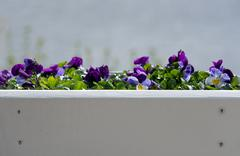 Stock Photo of Purple pansy flowers