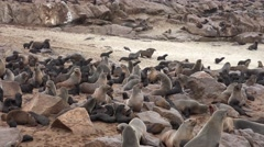Fur Seal (Arctocephalus Pusillus) at Cape Cross Stock Footage