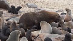 Brown Fur Seal (Arctocephalus Pusillus) Stock Footage