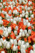 White and orange tulips blooming on a flowerbed, spring, May - stock photo