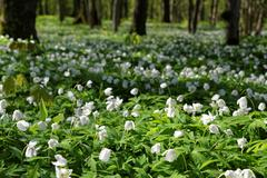 Anemone nemorosa is an early-spring flowering plant in the genus Anemone in t Stock Photos