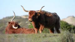 Two Scottish highland cows resting on a grass, Netherlands Stock Footage