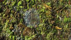 Jelly Fish on Moss ICELAND Stock Footage