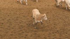 Cattle of brown calves Stock Footage