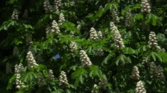 Blooming Chestnut Tree in the Wind Stock Footage