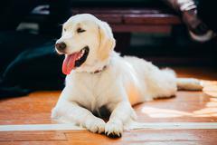 Close Up Young White Golden Labrador Retriever Dog - stock photo