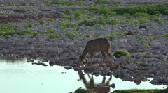 Greater Kudu (Female) at a Waterhole (in Namibia) Stock Footage