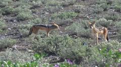 Jackals in the savannah (Etosha, Namibia) Stock Footage