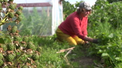 Blackberry bush branch on first plan and granny weed in garden Stock Footage