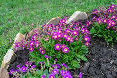 Flowerbed flowering verbena - stock photo
