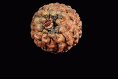 4K. Disclosure of pine cones ALPHA matte, (Pinus L.), Ultra HD, 4096x2730. Stock Footage