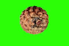 4K. Disclosure of pine cones green screen, (Pinus L.), Ultra HD, 4096x2730. Stock Footage