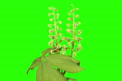 4K. Blooming chestnut branches flower buds green screen, Ultra HD. Stock Footage