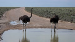 Group of Ostriches (Struthio Camelus) - stock footage