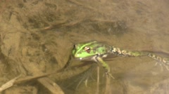 Beuty green frog - stock footage