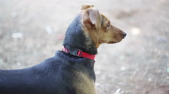 Dog smelling and staring, close up Stock Footage