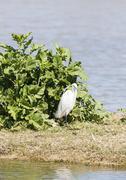 Stock Photo of Great White Egret, Ardea alba