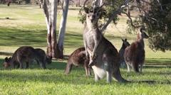 Kangaroo mother and baby Stock Footage