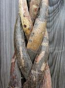 Tree trunk entwined - stock photo