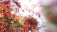 Wonderful nature scene with flowering maple tree branch in sunny day. Stock Footage