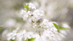 Flowering white cherry tree on white blur background. Stock Footage