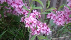 An almond bush with pink blossoms, trembling in the spring wind. Stock Footage