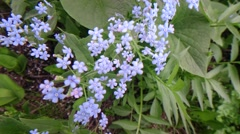 Blue forget me not in the nature Stock Footage