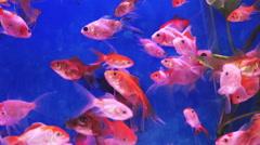 Fish Swimming in Freshwater Aquarium Stock Footage