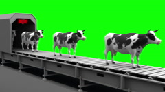 Cows on the conveyor belt, 4K. Seamless loop, green screen. Stock Footage
