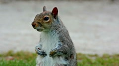 Squirrel close up - stock footage