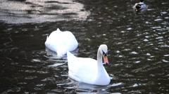 Two beautiful mute swans swim and dip their heads into water Stock Footage