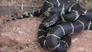 Stock Video Footage of 4K Coiled King Snake Threatens To Strike Flicks Tongue 4K UHD