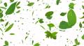 Green Leaf tornado Cw 4K Footage