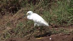 Snowy Egret in Costa Rica Feeding Stock Footage