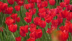 4K Tulips. A lot of red tulips swaying in the wind, UHD stock video Stock Footage