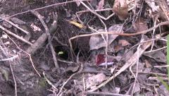 Everglades mink running into hole Stock Footage