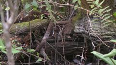 Everglades mink family playing Stock Footage