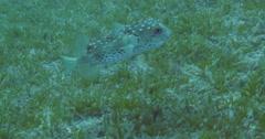 Underwater puffer fish 4K Stock Footage