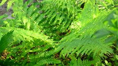 Wild fern swaying gently in wind in spring in a sunny day Stock Footage
