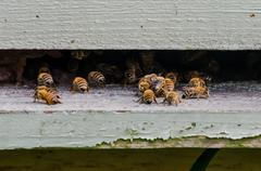 Bees at the entrance to the hive - stock photo
