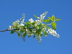 Stock Photo of flowers of bird-cherry