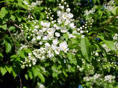 Bird-cherry flowers closeup - stock photo