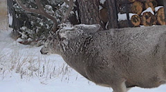 Mature Mule Deer Buck Charges Smaller Buck--40% Slow Motion and Not Stabilized Stock Footage