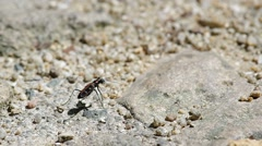 Tiger beetle on the ground Stock Footage