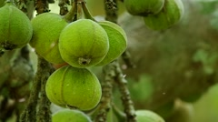 ficus fruits with the little flies - stock footage